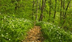 Feuillage vert vibrant dans la forêt au printemps Photos stock