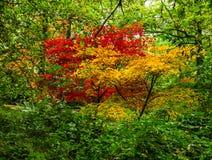Feuillage vibrant d'automne de contraster les érables japonais images stock
