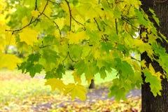 Feuillage vif d'érable d'automne photos libres de droits