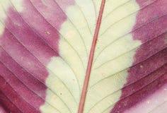 Feuille avec des couleurs lumineuses en Hawaï Image libre de droits