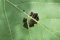 Feuille avec des trous, mangés par l'insecte Image stock