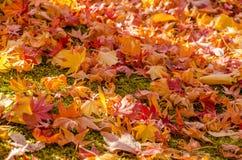 Feuille colorée d'automne Images libres de droits