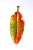 Feuille colorée d'automne d'isolement Image stock