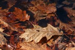 Feuille colorée de chêne de chute sur la glace mince sur la crique argentée Ohio image stock