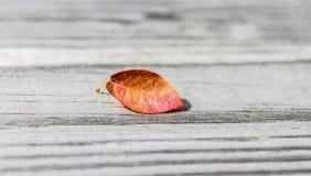 Feuille colorée par automne solitaire Images libres de droits