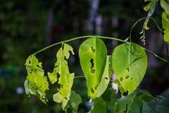 Feuille-consommation des insectes Images libres de droits