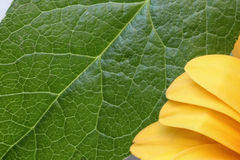 Feuille croquante fraîche de vert de chaux avec des pétales de jaune de soleil Photographie stock libre de droits