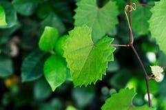 Feuille déchiquetée en forme de coeur d'automne sur une vigne au foyer sélectif Photographie stock libre de droits
