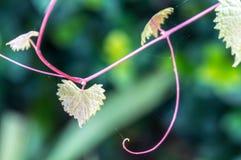 Feuille déchiquetée en forme de coeur sur une vigne au foyer sélectif Photo libre de droits