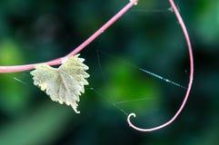 Feuille déchiquetée en forme de coeur sur une vigne au foyer sélectif Photo stock