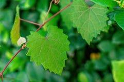 Feuille déchiquetée en forme de coeur sur une vigne au foyer sélectif Images stock