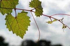 Feuille déchiquetée en forme de coeur sur une vigne au foyer sélectif Images libres de droits