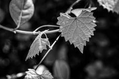 Feuille déchiquetée en forme de coeur sur une vigne au foyer sélectif Image libre de droits
