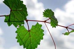 Feuille déchiquetée en forme de coeur sur une vigne au foyer sélectif Photos libres de droits