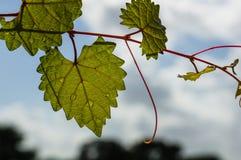 Feuille déchiquetée en forme de coeur sur une vigne au foyer sélectif Photographie stock libre de droits