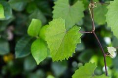 Feuille déchiquetée en forme de coeur sur une vigne au foyer sélectif Photos stock