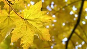 Feuille d'érable d'automne sur l'arbre banque de vidéos