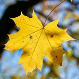 Feuille d'érable avec la coloration d'automne photographie stock libre de droits