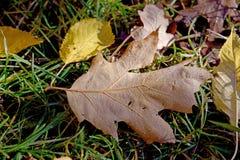 Feuille d'érable avec la rosée dans l'herbe Image libre de droits