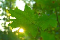 Feuille d'érable avec le trou et la lumière du soleil passant à travers elle Photos libres de droits