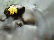 Feuille d'érable cassée sur la pierre de basalte dans l'eau de la rivière de montagne, premières feuilles d'automne Photos libres de droits