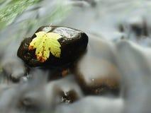 Feuille d'érable cassée sur la pierre de basalte dans l'eau de la rivière de montagne, premières feuilles d'automne Image libre de droits