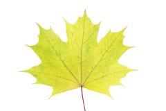 Feuille d'érable colorée d'automne d'isolement sur le fond blanc Image stock