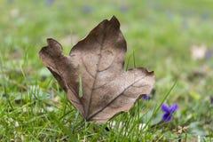 Feuille d'érable d'automne sur l'herbe verte au printemps Photos stock