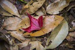 Feuille d'érable dans le phukradueng Photos libres de droits