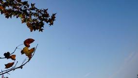 Feuille d'érable et ciel bleu Photos libres de droits
