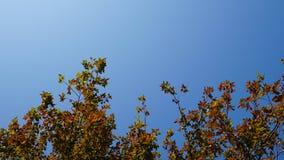 Feuille d'érable et ciel bleu Images stock