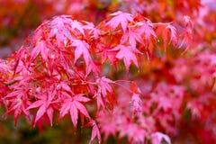 Feuille d'érable, foyer sélectif japonais de feuille d'érable rouge à garde Photographie stock