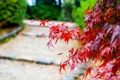 Feuille d'érable, foyer sélectif japonais de feuille d'érable rouge à garde Photos libres de droits