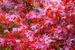 Feuille d'érable, foyer sélectif japonais de feuille d'érable rouge à garde Photographie stock libre de droits