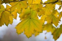 Feuille d'érable jaune Image libre de droits
