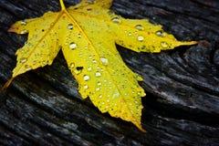 Feuille d'érable jaune Photos libres de droits