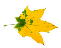 Feuille d'érable jaune d'automne avec les taches vertes Photos stock