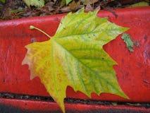 Feuille d'érable jaune et verte sur la restriction rouge photos libres de droits