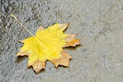 Feuille d'érable jaune sur l'asphalte humide Concept d'automne Image libre de droits