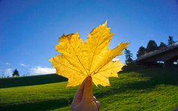 Feuille d'érable jaune sur le ciel en parc Image stock
