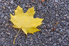 Feuille d'érable jaune vibrante simple d'automne images libres de droits