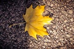Feuille d'érable jaune vibrante simple sur l'asphalte image stock