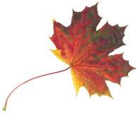 Feuille d'érable multicolore d'automne d'isolement sur le fond blanc Photographie stock