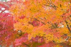 Feuille d'érable multiple de couleur pendant l'Autumn Season, Japon photographie stock