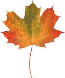 Feuille d'érable naturelle d'automne sur le blanc images libres de droits