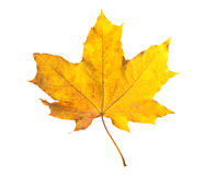 Feuille d'érable orange d'isolement sur le blanc Lame sèche d'automne Image stock