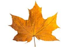 Feuille d'érable orange d'isolement sur le blanc Lame sèche d'automne Photo stock