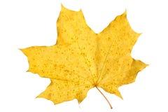 Feuille d'érable orange d'isolement sur le blanc Lame sèche d'automne Photos stock