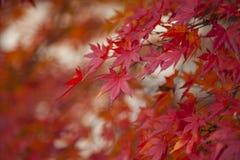 Feuille d'érable rouge colorée d'automne de jardin japonais de dessous l'arbre d'érable Photographie stock