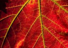 Feuille d'érable rouge dans la fin de macro d'automne  Photo stock